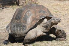 Żółwie słoniowe na Galapagos były jużbadane przez Karola Darwina.