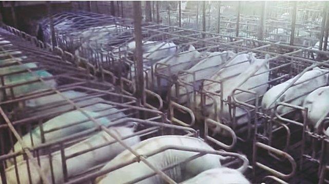 Maciory trzyma się na nowoczesnych farmach w wąskich boksach.