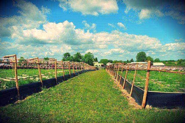 Ślimaki można hodować również na farmach – tak zwanych parkach hodowlanych.