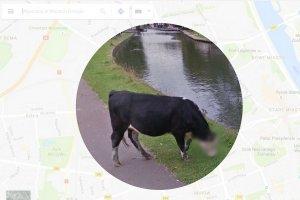 Google zamazuje pyski krów.