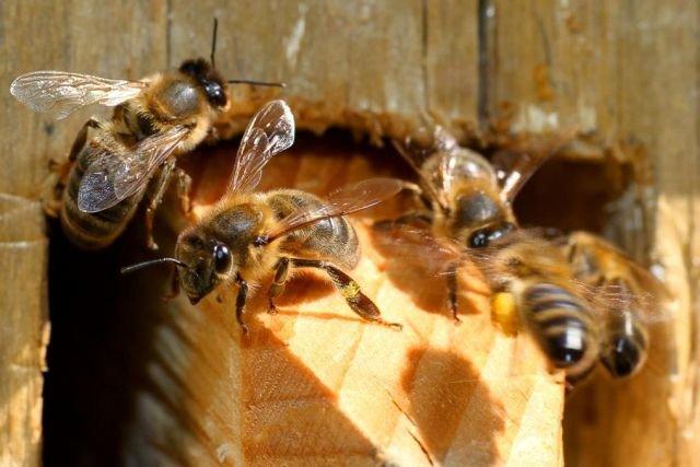Pszczoły w barci