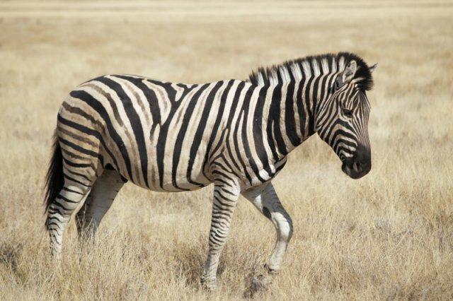 Zebra to jedno z najlepiej rozpoznawalnych stworzeń na świecie. Dzięki paskom. Tylko jaką funkcję one spełniają?