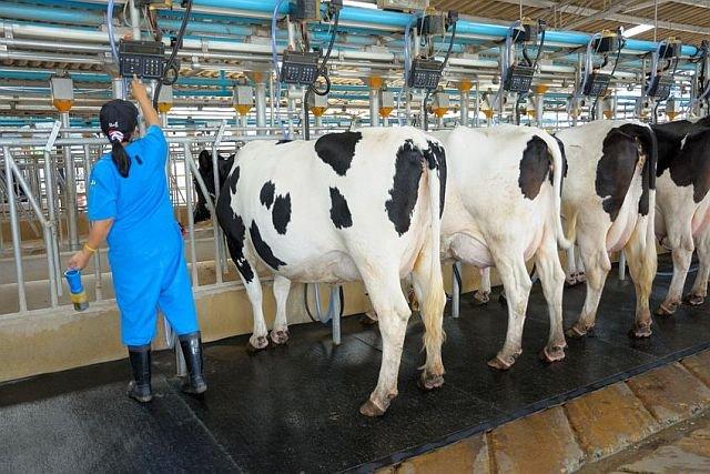 Na norweskich farmach mlecznych można zarobić ponad 13 000 zł miesięcznie. Mimo to, Polacy nie garną się już do tej pracy