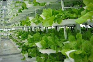 Wertykalne rolnictwo jest dużo zdrowsze od tradycyjnego
