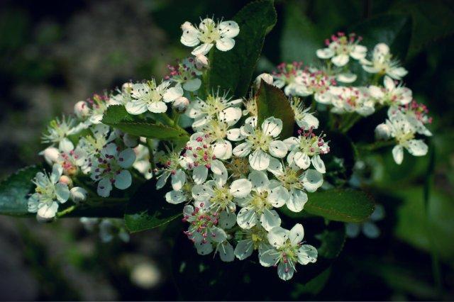 Krzewy aronii, która w uprawie jest podobna do porzeczki