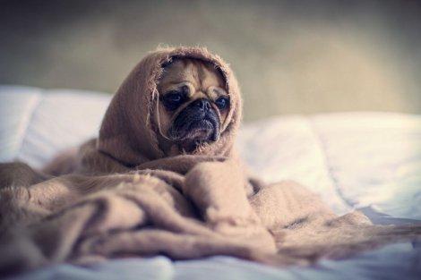 Alergie, kłopoty z oddychaniem, łzawienie, ryzyko śmierci z przegrzania: psy z krótkim pyskiem mają naprawdę pieskie życie.